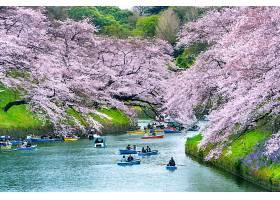 日本东京千里福口公园樱花盛开_1082451901