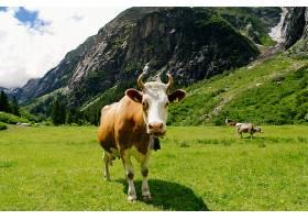 在绿色的田野上吃草的牛高山草甸上的奶牛_258390801