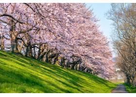 日本京都春天的一排樱花树_1082437201