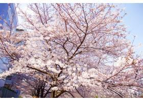 日本四月樱花盛开_1204540401
