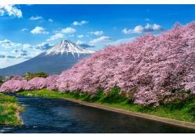 日本静冈春天的一排排樱花和富士山_1082444201