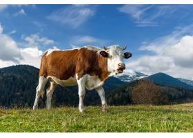 夏季在牧场上吃草的棕色山牛_1101187701