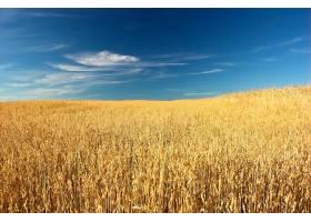 夏日的小麦_90667001