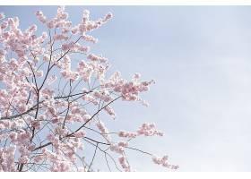 晴朗天空下美丽的大片粉红色樱花或樱花_805466301