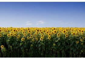 晴朗蓝天的美丽向日葵田_781062101