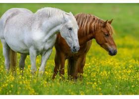 田野上开着黄花的白马和棕马_1101185601