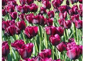 田野中央迷人的郁金香开花植物的美丽镜头_992741001