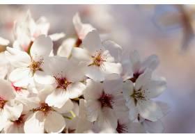 树上盛开的樱花_1099037501