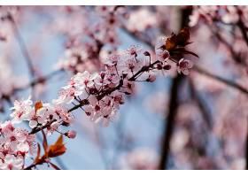树上盛开的粉红色樱花_1048892901