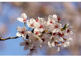 树上盛开的粉红色樱花_1086033201