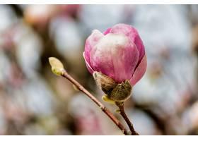 树上粉红色玉兰花蕾的柔和聚焦_1194207501