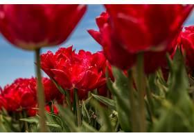 田野里的红花_1018652901
