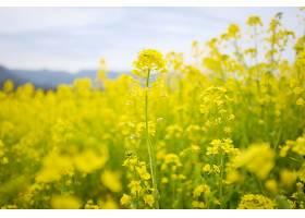 田野里黄色的花儿一朵接一朵地开_1118325301