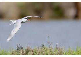 一只北极燕鸥在河上飞翔的选择性对焦镜头_1167829801