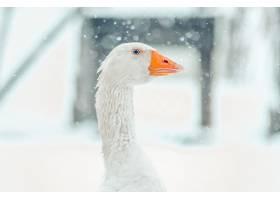 一只可爱的鹅头与模糊的雪花的特写镜头_1011954001