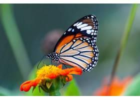 一只橙色花瓣上纹理有趣的美丽蝴蝶的特写镜_918367201
