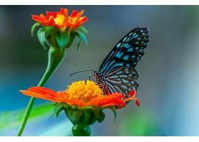 一只美丽的蝴蝶在橙色花瓣上的特写镜头_1018616901