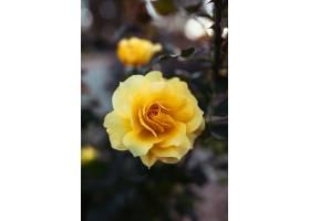 一朵令人惊叹的黄色玫瑰花的特写镜头_1072251101