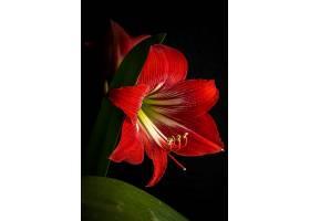 一朵盛开的红色百合花孤立的美丽镜头_1086087201