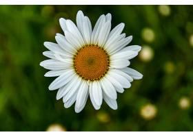 一朵美丽的牛眼雏菊的特写镜头_997059601