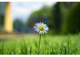 一朵美丽的雏菊的特写镜头_1194209701