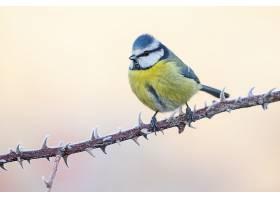 一只蓝山雀栖息在树枝上的特写镜头_1204033201