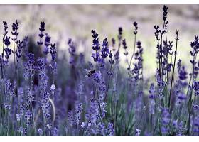 一只蜜蜂在紫花上的特写镜头_1039990701