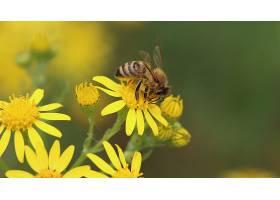 一只蜜蜂站在一朵黄色的花上周围环绕着其_1075941301