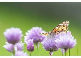 一只蝴蝶坐在紫花上的特写镜头_1189014401