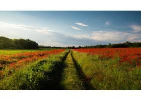 一片覆盖着罂粟花的绿色田野令人叹为观止_1134302101