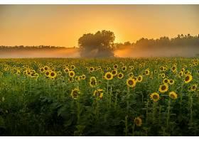 一片长满向日葵和树木的田野令人叹为观止_1011972801
