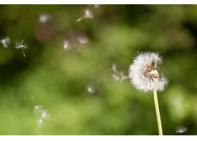 一种可爱的蒲公英开花植物的特写选择性对焦_999127301