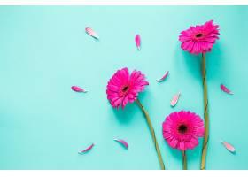 三朵带花瓣的粉红色非洲菊花_400210301