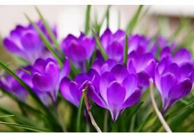精选对焦拍摄美丽的紫春藏红花_1030339301