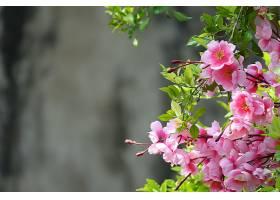 背景散焦的粉红色花朵_103334401