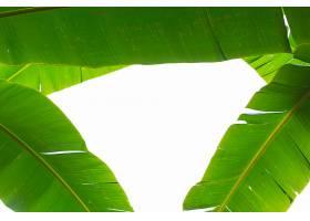 背景是翠绿的香蕉叶森林_483320601