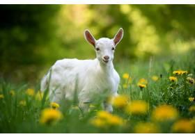 白色的小山羊站在绿色的草地上开着黄色的_1101186401