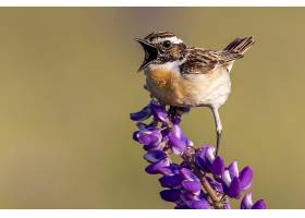 近距离拍摄的一只麻雀鸟栖息在紫色花瓣的花_1194208701