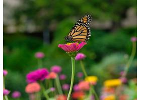 绿树成荫的花园里粉红色花朵上的帝王蝶_997099601