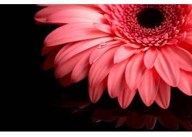 非洲菊花瓣在粉红色色调中的特写_535311201