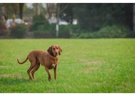 快乐的宠物狗在公园的草地上玩耍_112010701