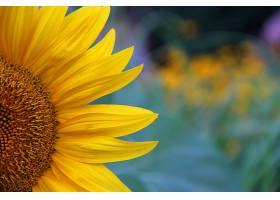 模糊背景下一朵美丽的黄色向日葵的特写镜头_1018707101