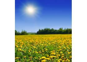 绿色的田野上种着黄色的蒲公英_147041401