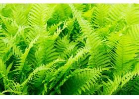 绿色蕨叶的美丽特写镜头_997174101