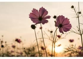 花园中的剪影粉色宇宙花_113127301
