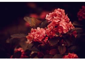 花园中美丽的粉红色花朵复古风格的特写镜头_1086038401