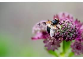 花园里一只蜜蜂在一朵紫花上的特写镜头_1134307201