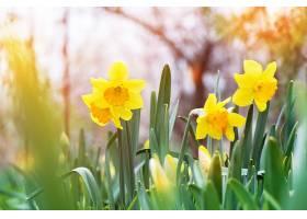 花园里盛开的黄水仙水仙花_913052301