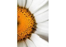 雏菊花瓣的特写镜头_1163114701