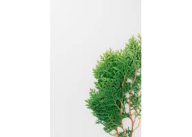 白色背景下被隔离的雪松树枝的特写_321130101